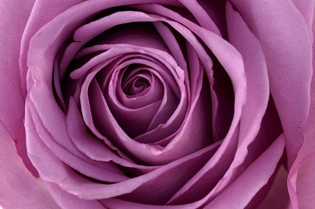 Значение синих роз: к чему их дарят девушке, что они символизируют